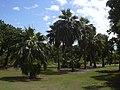 Starr-040318-0044-Pritchardia sp-grove-Maui Nui Botanical Garden-Maui (24072764023).jpg