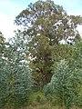 Starr-051123-5415-Eucalyptus globulus-habit-Haleakala Ranch-Maui (24554202040).jpg