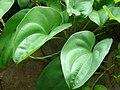 Starr-061106-1436-Dioscorea alata-leaves-Maui Nui Botanical Garden-Maui (24500754289).jpg