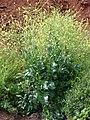 Starr-090426-6312-Brassica nigra-flowering habit-Aapuea Pkwy Kulamalu Kula-Maui (24321858014).jpg