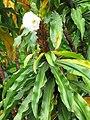 Starr-090618-1097-Costus speciosus-flower and leaves-Hana Hwy-Maui (24338771153).jpg