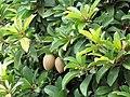 Starr-090709-2509-Manilkara zapota-fruit and leaves-Lahaina-Maui (24851239882).jpg