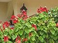 Starr-090806-4061-Mussaenda sp-red with white flowers-Kahului-Maui (24604220989).jpg
