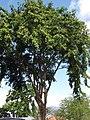 Starr-090818-4467-Pterocarpus indicus-habit-Kihei-Maui (24972519165).jpg