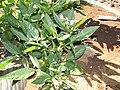 Starr-091020-8384-Solanum muricatum-flowers and leaves-Kula Experiment Station-Maui (24960174996).jpg