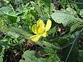 Starr-091108-9411-Citrullus lanatus-flower-Olinda-Maui (24362429663).jpg