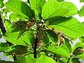 Starr-100430-2663-Terminalia sp-flowers and leaves-Iao-Maui (24937762321).jpg