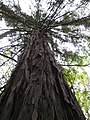 Starr-101219-5526-Sequoia sempervirens-trunk and canopy-Waihou Springs-Maui (24762309920).jpg