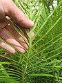 Starr-110307-2342-Blechnum gibbum-frond-Kula Botanical Garden-Maui (25077975545).jpg