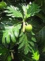 Starr-110627-6773-Artocarpus altilis-fruit flower stalk and leaf-Waihee-Maui (25004099681).jpg