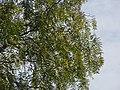 Starr-120403-4066-Schinus molle-leaves-Kula-Maui (24511499163).jpg