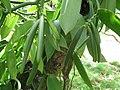 Starr-121108-1108-Vanilla planifolia-green seedpods-Pali o Waipio-Maui (25196769875).jpg