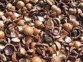 Starr-130214-1534-Macadamia integrifolia-lots of shells-Waihee-Maui (24575029464).jpg
