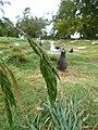 Starr-150327-0267-Bromus catharticus-seedhead-Near Charlie Barracks Sand Island-Midway Atoll (25174678411).jpg