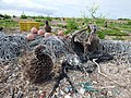 Starr-150403-0150-Brassica juncea-ropes floats marine debris Laysan Albatrosses-Southeast Eastern Island-Midway Atoll (24980106090).jpg