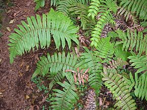 Cyclosorus cyatheoides