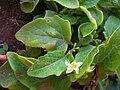 Starr 050404-5433 Solanum americanum.jpg