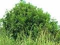 Starr 050415-0010 Macadamia integrifolia.jpg