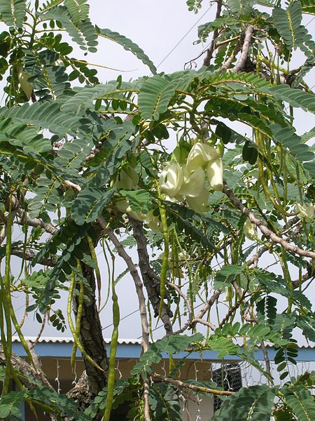 പ്രമാണം:Starr 050518-1632 Sesbania grandiflora.jpg