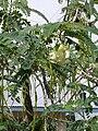 Starr 050518-1632 Sesbania grandiflora.jpg