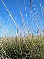 Starr 051122-5264 Plantago lanceolata.jpg