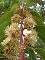 Starr 051123-5437 Eucalyptus botryoides.jpg