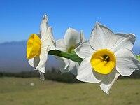 Starr 051224-5774 Narcissus tazetta.jpg