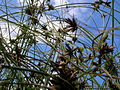 Starr 061108-9654 Cyperus trachysanthos.jpg