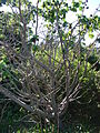 Starr 061211-2264 Hibiscus brackenridgei subsp. brackenridgei.jpg