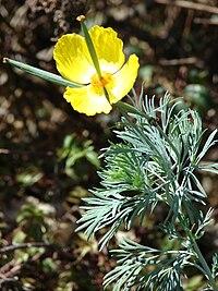 Starr 071024-0441 Hunnemannia fumariifolia