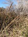 Starr 071225-0687 Typha sp..jpg