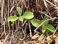 Starr 080209-2687 Achyranthes splendens var. splendens.jpg