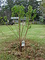 Starr 080302-3154 Prunus salicina.jpg
