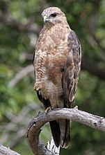 Steppe Buzzard, Buteo buteo vulpinus, at Marakele National Park, Limpopo, South Africa (16382006736).jpg
