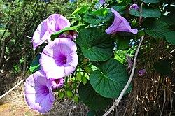 Stictocardia tiliifolia.jpg