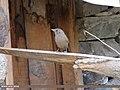 Streaked Laughingthrush (Trochalopteron lineatum) (15886099321).jpg