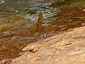 Stream Glory Female from Valparai Anamalai hills P1120016.JPG