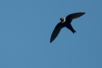 White-collared swift - Image: Streptoprocne zonaris, White collared Swift