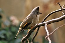 Stripe throated Yuhina.jpg