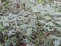 Strobillanthes wightiana-2-chemunji-kerala-India.jpg