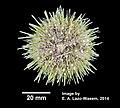 Strongylocentrotus droebachiensis (YPM IZ 031343).jpg
