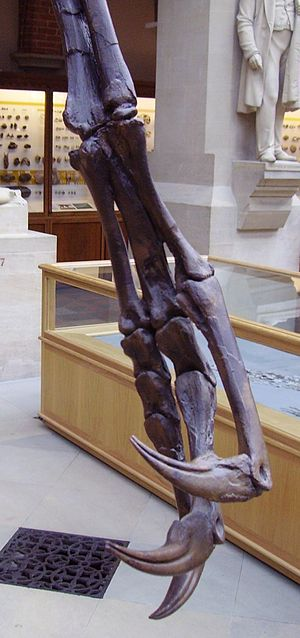 Ornithomimosauria - Struthiomimus forelimb, showing claws (OUMNH)