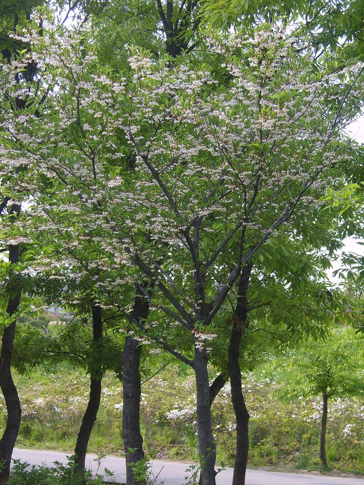 Styrax Japonicus Wikipedia