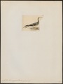 Sula leucogaster - 1845-1863 - Print - Iconographia Zoologica - Special Collections University of Amsterdam - UBA01 IZ18000067.tif