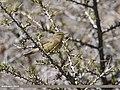 Sulphur-bellied Warbler (Phylloscopus griseolus) (34682565246).jpg