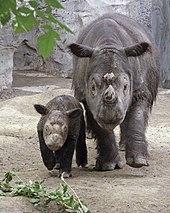 Rhinocéros adulte avec un jeune situé à sa droite, vus de face.