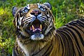 Sumatran tiger in srilanka.jpg