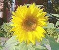 Sunflower33.jpg