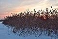 Sunset in the reeds of the Neva Bay.jpg