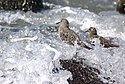 Surfbird Calidris virgata spray zone .jpg